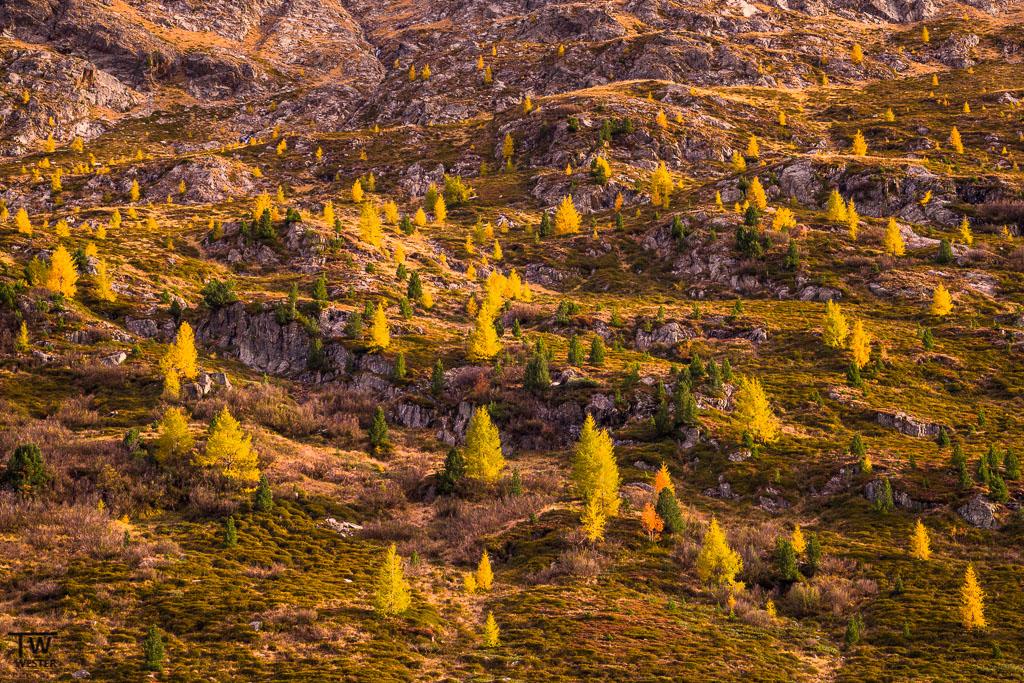 Selbst an den steilsten Berghängen sieht man die leuchtenden Lärchen (B1125)