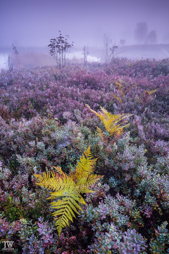 Diese Färbung zwischen grün, blau, rot, lila hat mich besonders fasziniert: bei Nebel kamen die Farben aufgrund der Feuchtigkeit der Blätter besonders intensiv herüber (B1187)