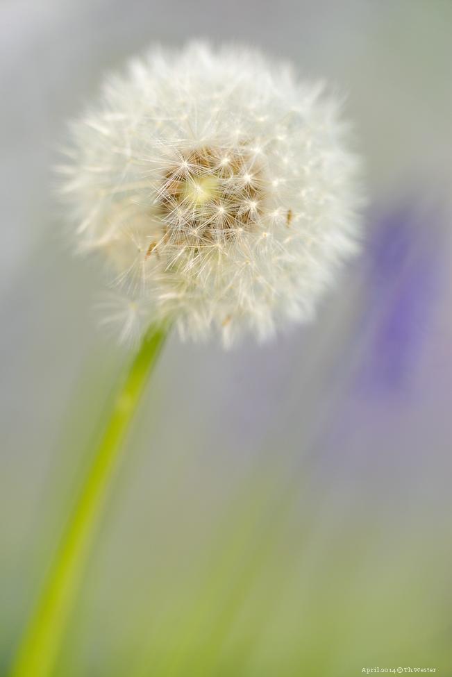 """Eine """"Pusteblume"""" am Wegesrand vor dem Hintergrund der blauen Blumen (B143)"""