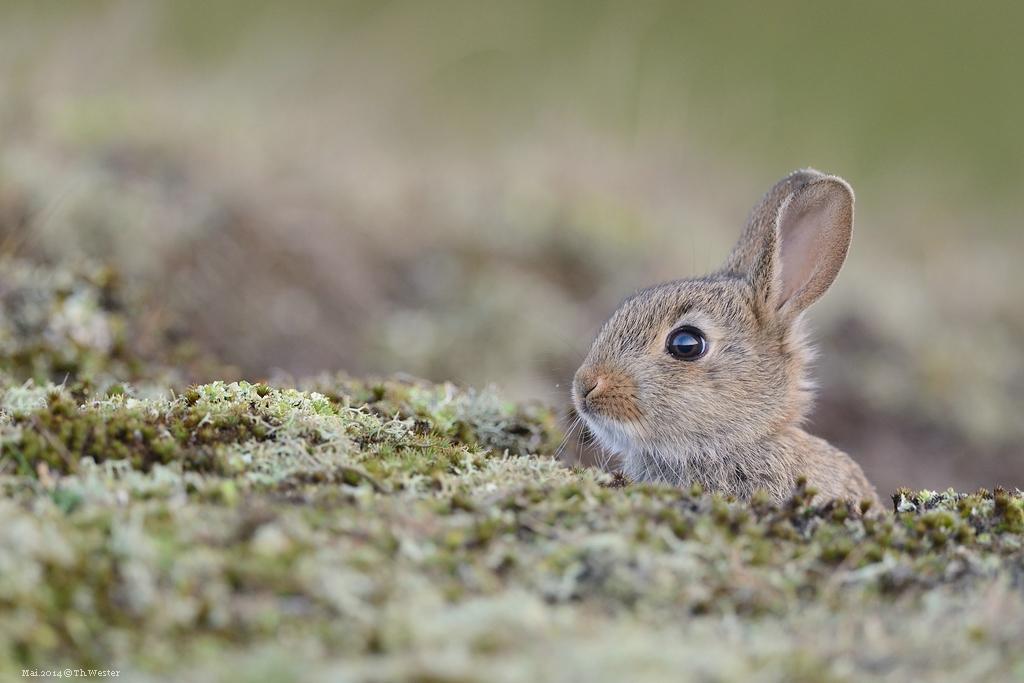 Kaninchen (B168)