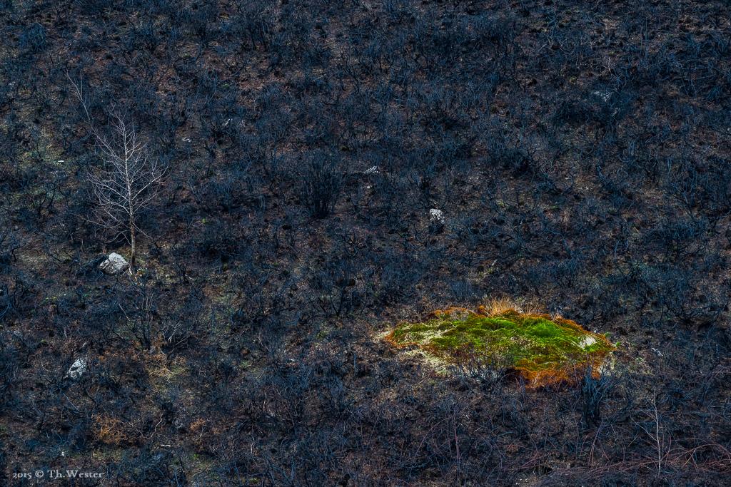 Wo die Spuren letztjähriger Waldbrände noch zu sehen sind... neues Leben entsteht jedoch auch hier recht schnell, wie man unschwer erkennen kann (B577)