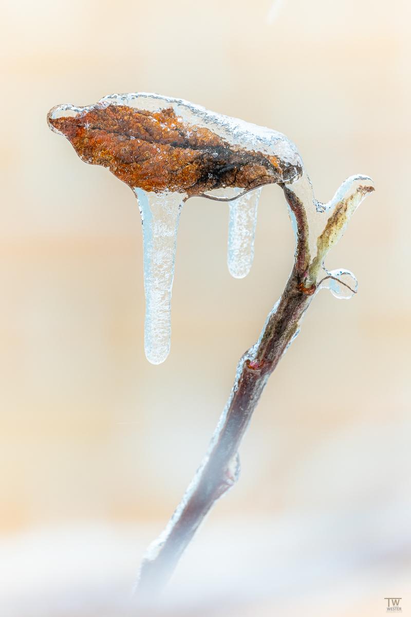 Der Eisregen zog sich langsam über die Blätter (B2385a)