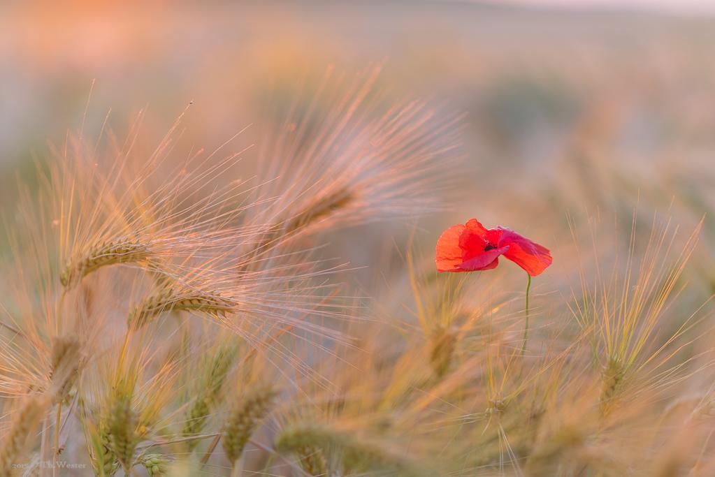 Ab und zu zeigt sich in den Gerstenfeldern eine Mohnblume (B350)