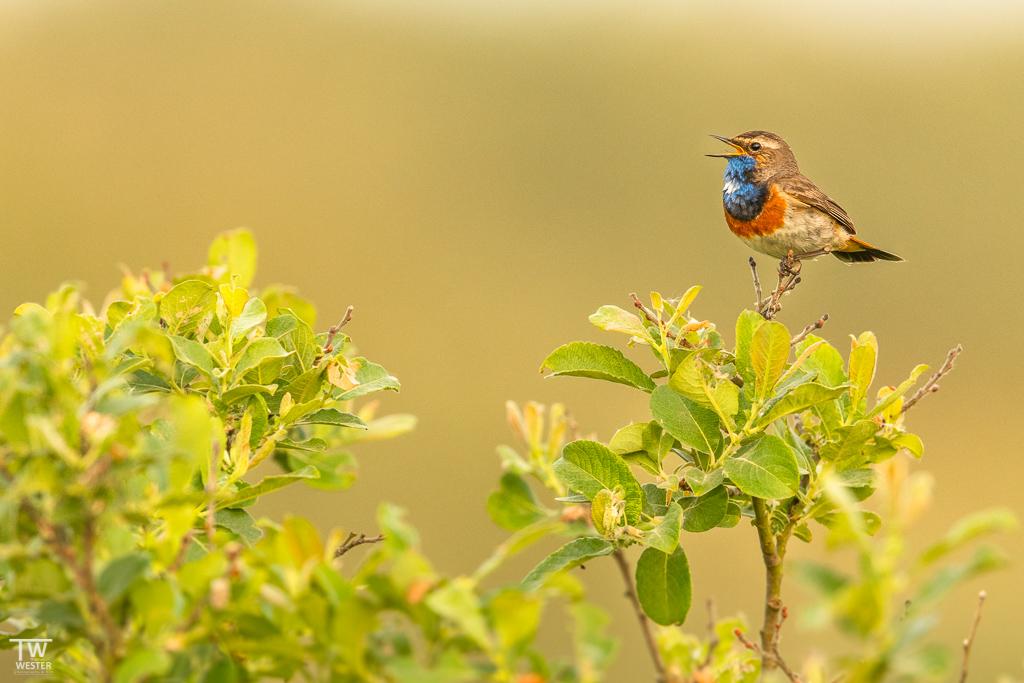 Ein singendes Blaukehlchen (B1690)