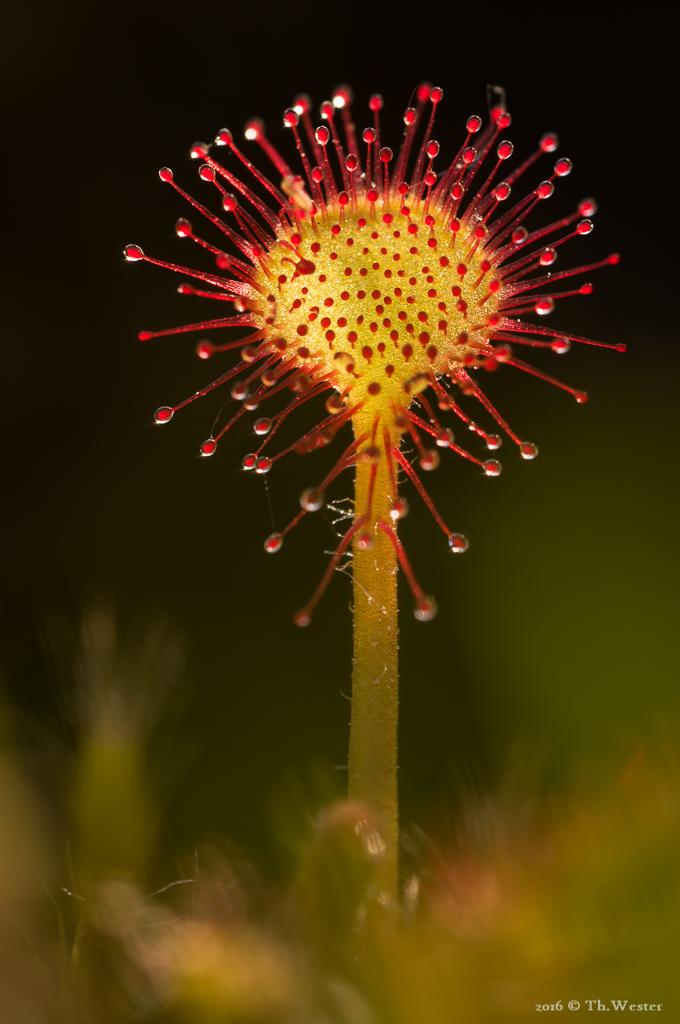 Dieses letzte Bild stammt von heute früh: hier hatte ich mich sehr gefreut, im Moor mehrere Exemplare des Sonnentaus zu finden. Sie gehört zur Gattung der fleischfressenden Pflanzen (B510)