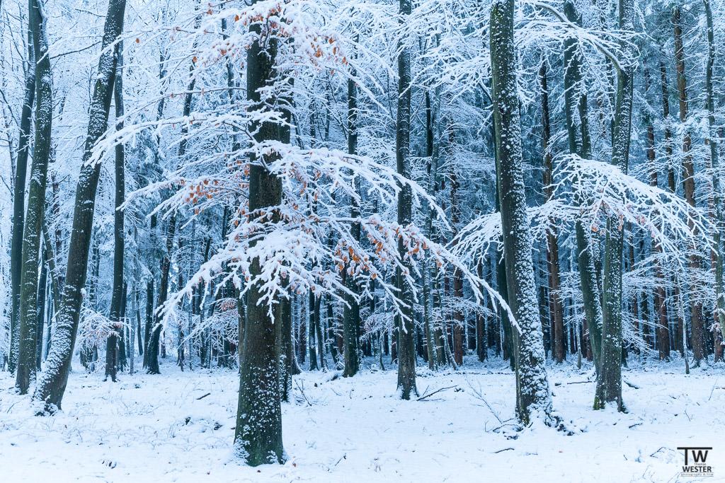 Durch die in letzter Zeit häufig auftretenden Starkwinde sind die Stämme meist mit einer Schnee- und Eisschicht überzogen (B1232)