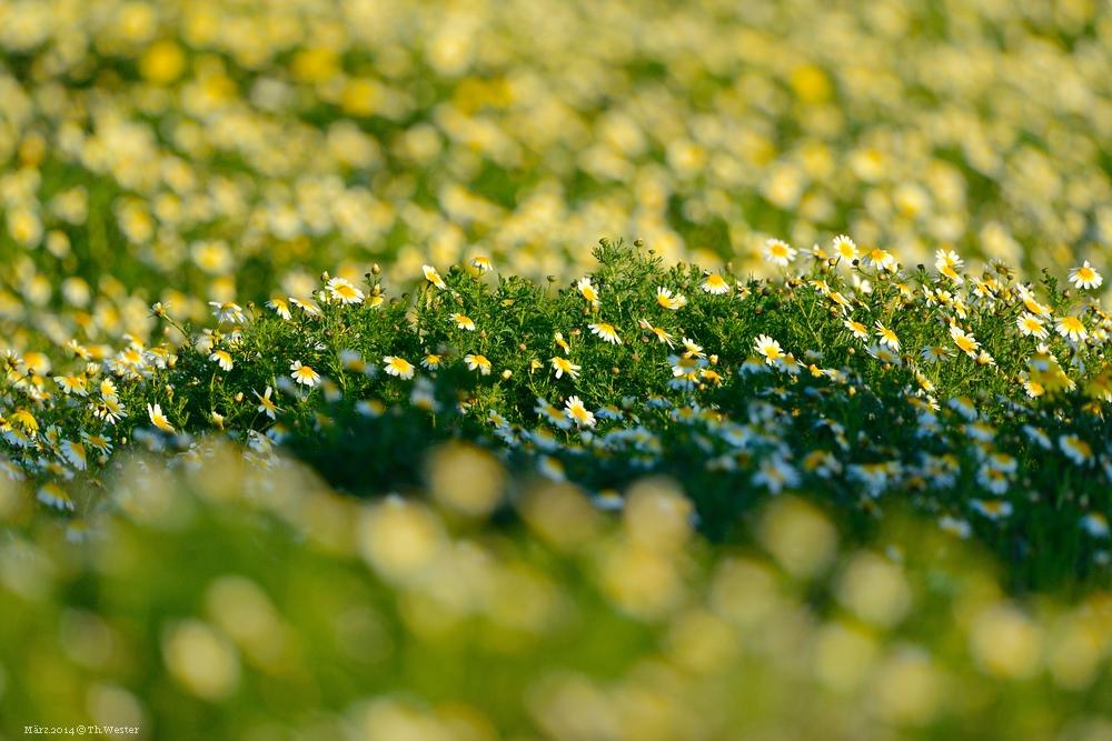 Eine wunderschöne Wiese voll mit Gänseblümchen (B89)