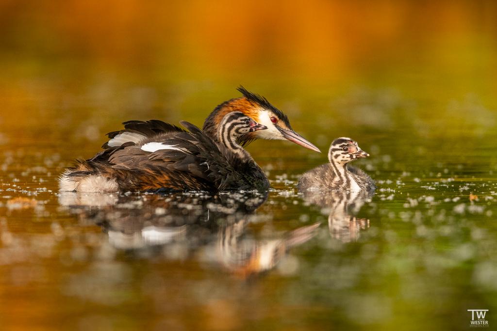 Die Alttiere waren stets besorgt um ihre Jungvögel (B1669)