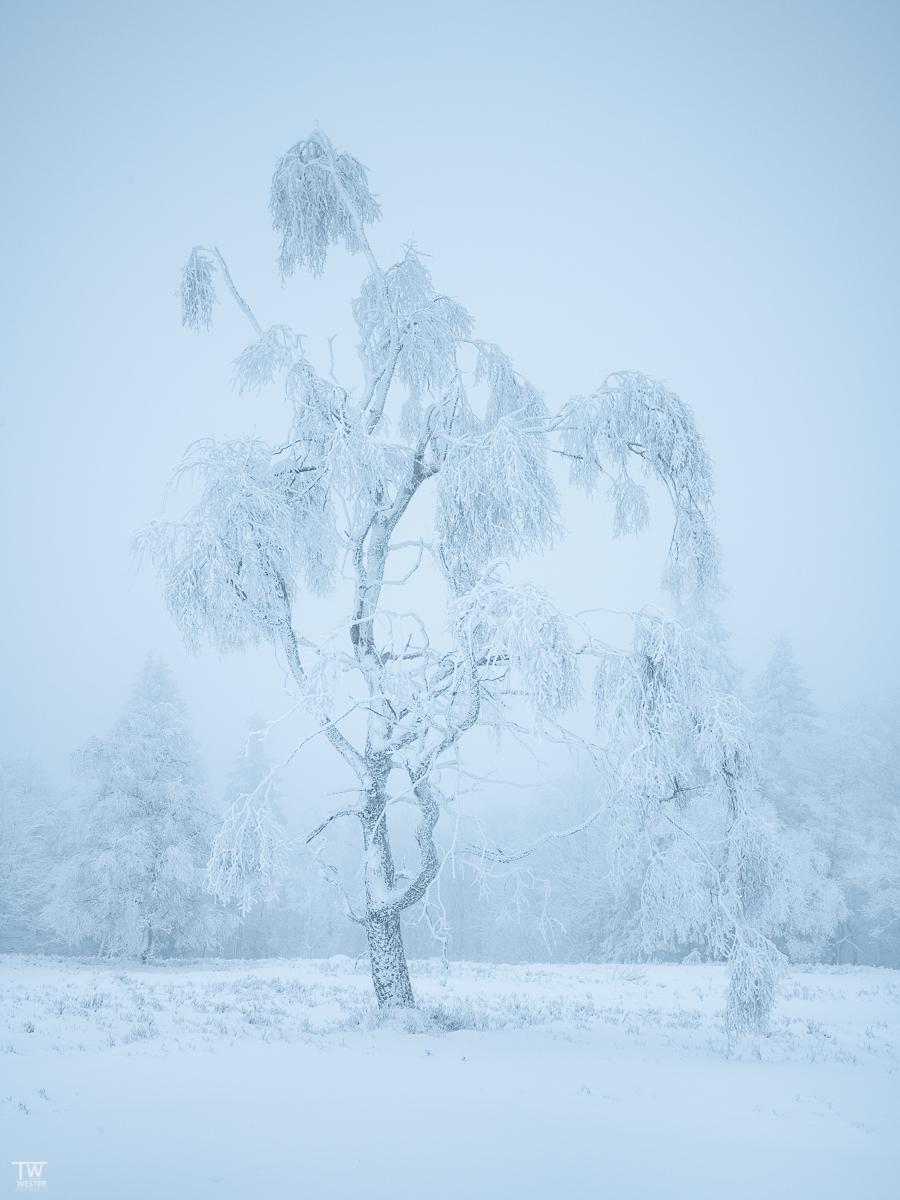 Iced beauty (B2461)