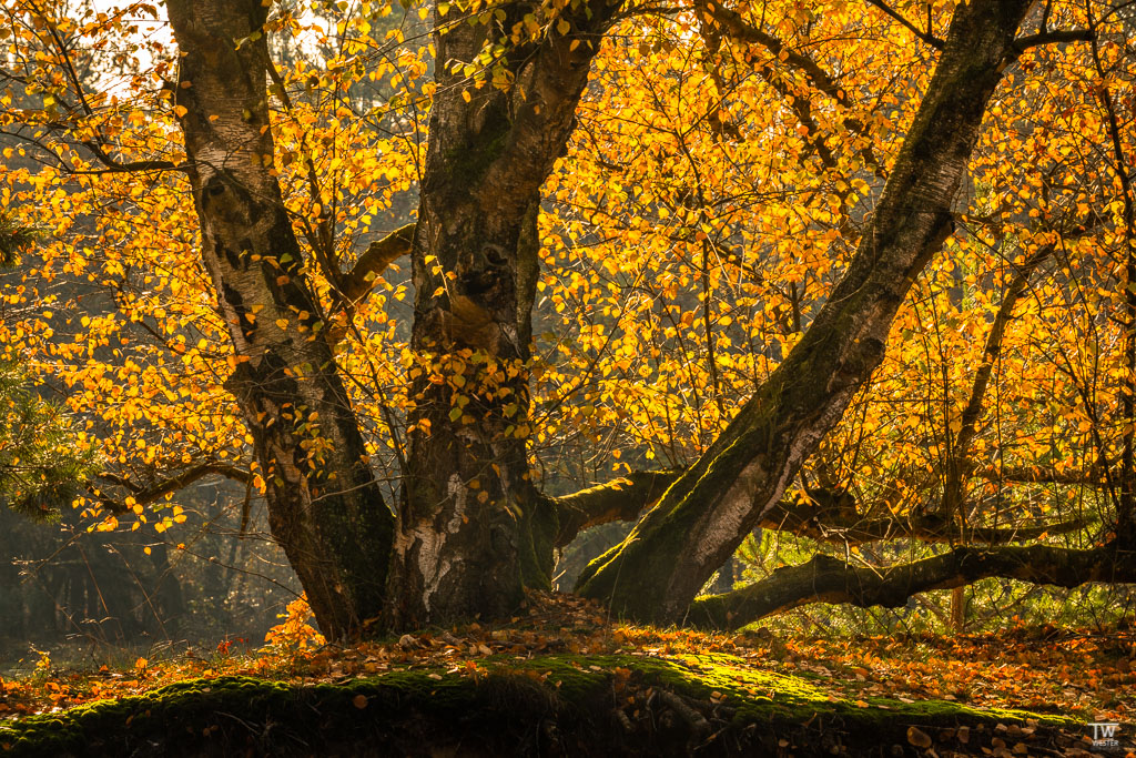 In den Heidelandschaften Hollands findet man teils auch sehr alte Birken (B1845)