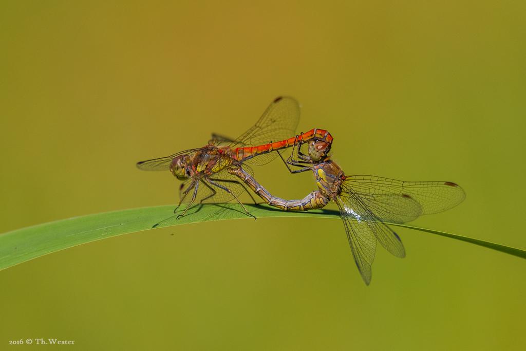 Als Beifang beobachtete ich auch eine Paarungs-Szene von Heidelibellen (B675)
