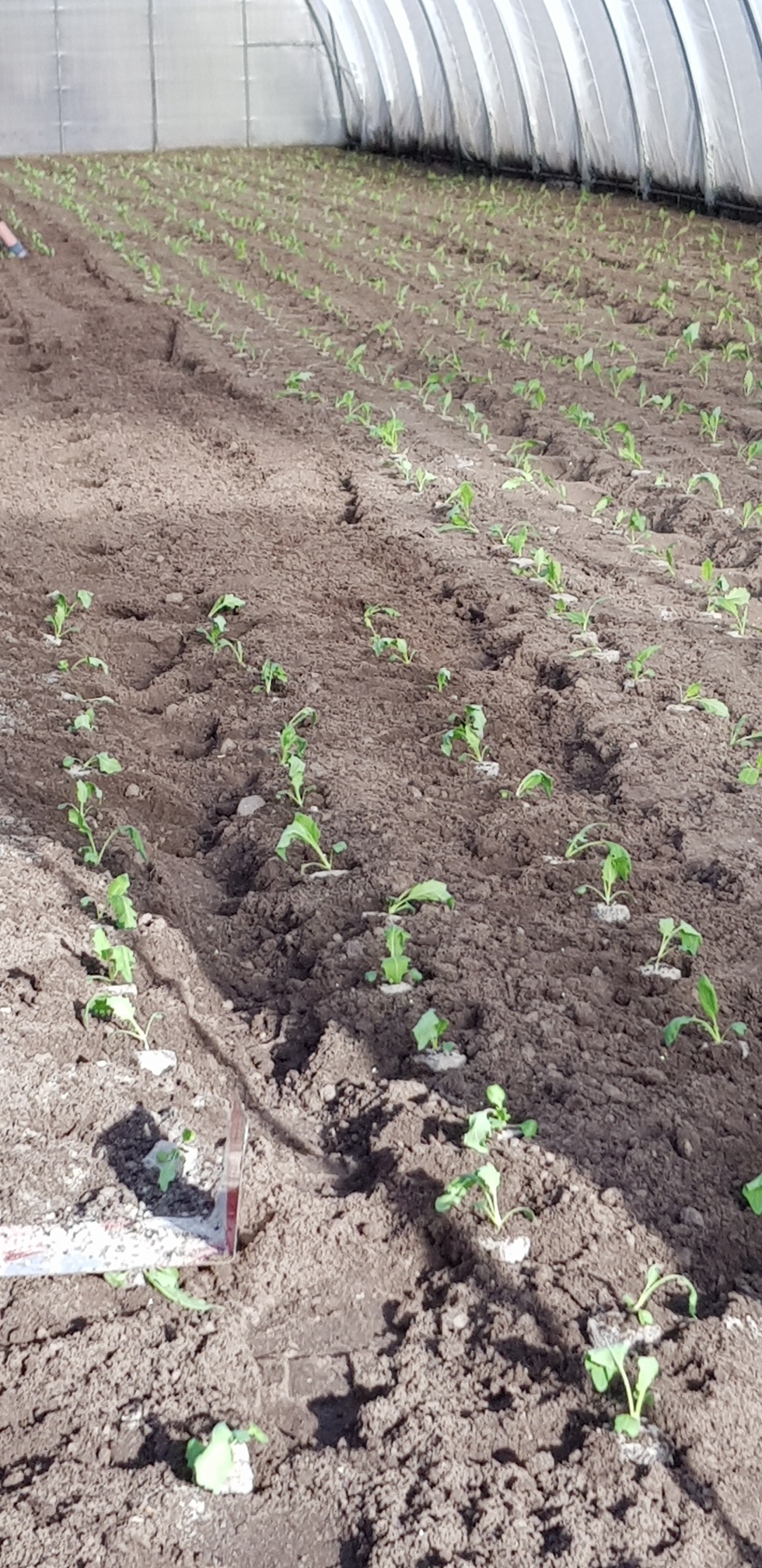 Soeben wird der erste Kohlrabie gepflanzt. Noch im Folienhaus da es Nachts noch zu kalt ist.