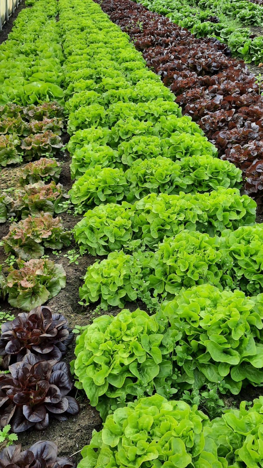 Die Salate aus den Folienhäusern können Sie bereits genießen.
