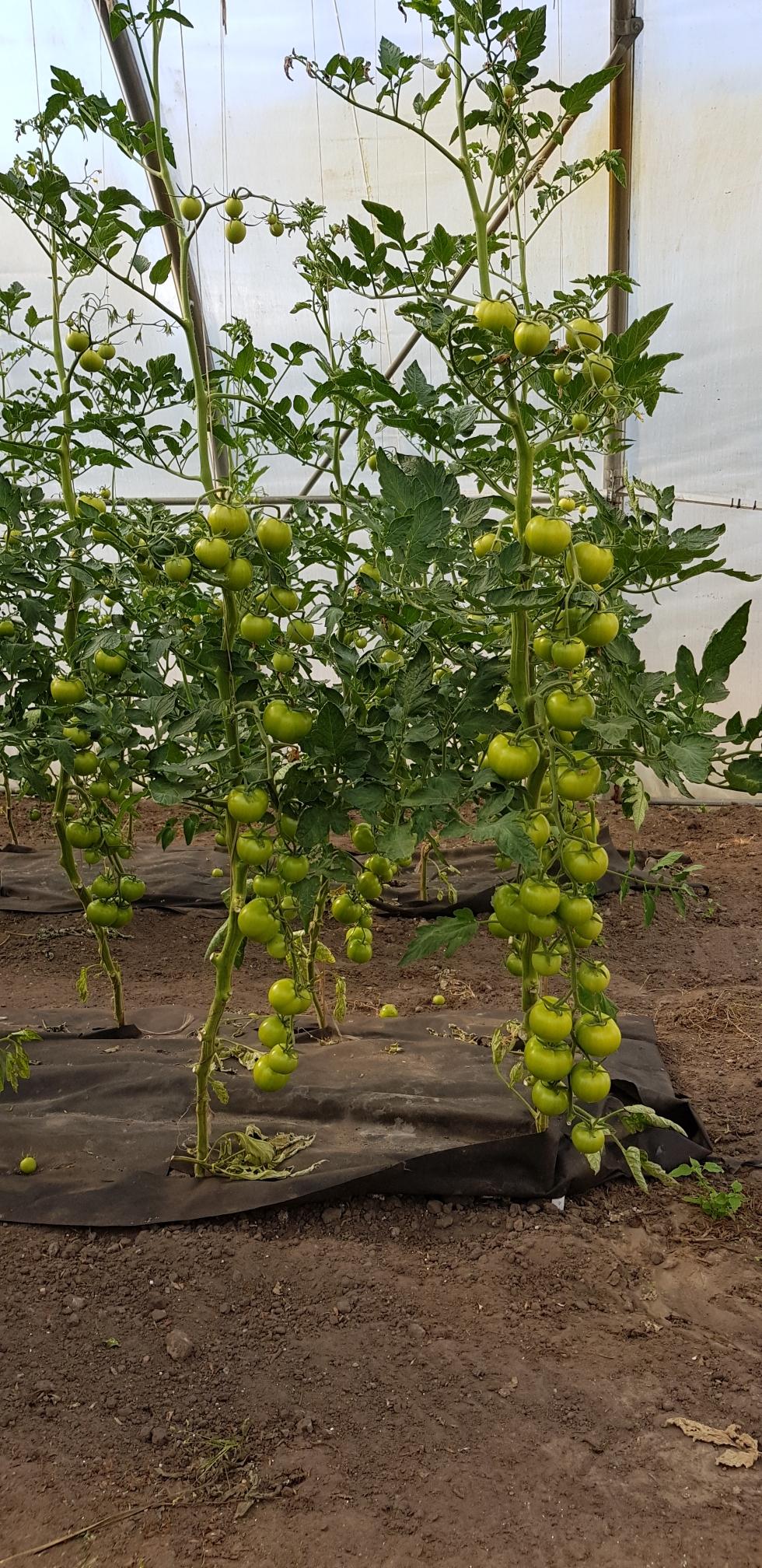 Noch grün, aber schöne Früchte, unsere Tomaten.