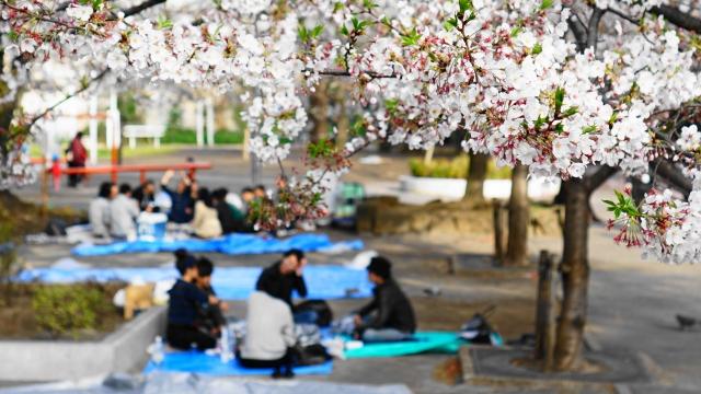 足立区,元渕江公園,桜,さくらフェスタ