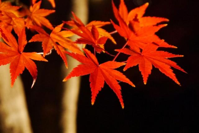 ライトアップされた真っ赤な紅葉