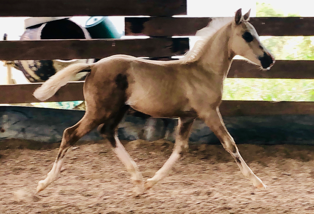 """Ellenborn's Dorfkind"" (Deutsches Reitpony) aus der Calypso's Little Miss Georgeous von Dating AT"
