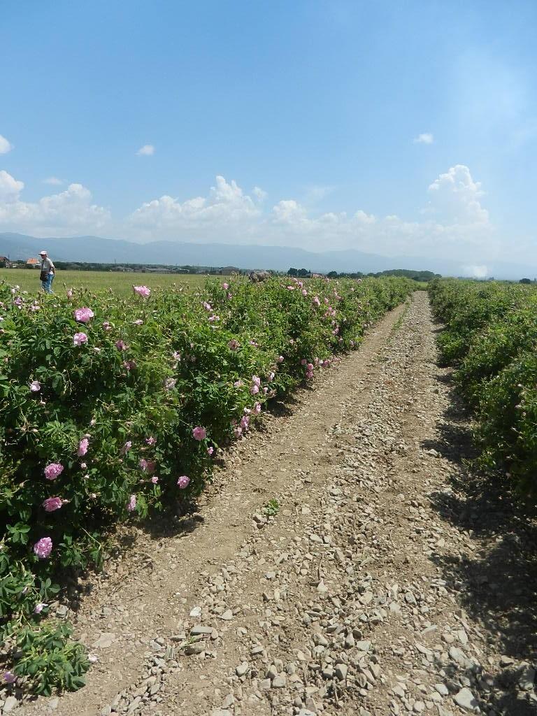 auf der Rosenplantage