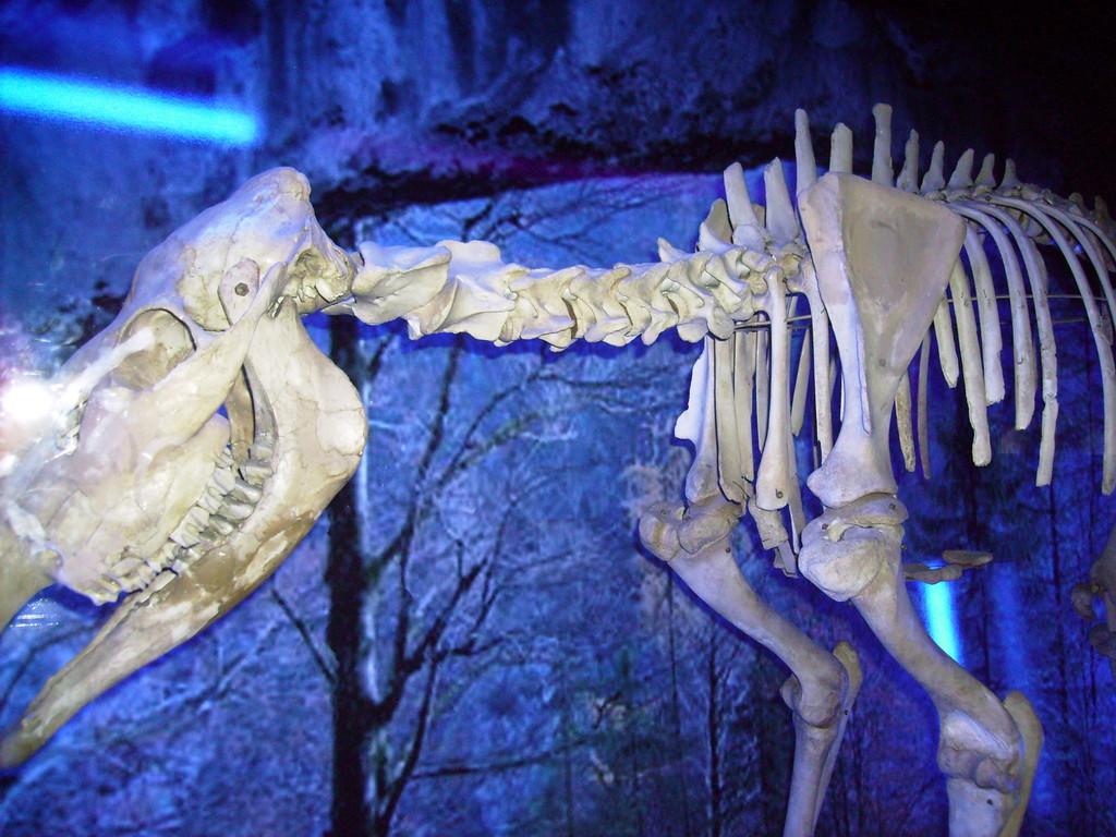 Skelett eines Elchs