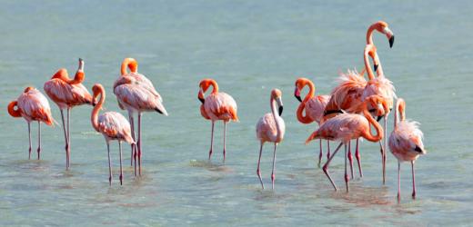 Flamingos an den Salzseen von Jan Kok, Curaçao.