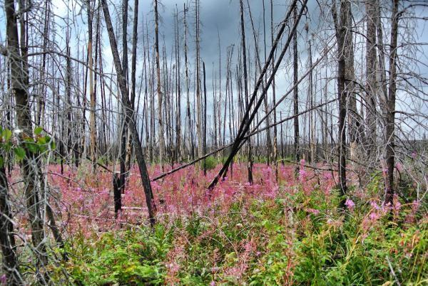 «Verbrannte Wälder sind ein häufiges Bild in Alaska und Nordkanada. Das opulente Fireweed verrät, dass der Brand weniger als fünf Jahre her ist.»
