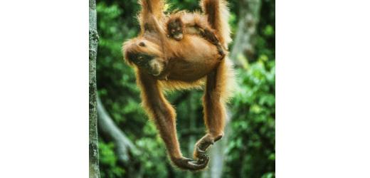Ein Orang Utan mit Nachwuchs im Regenwald Sumatras.