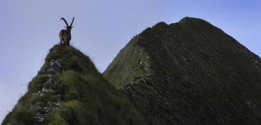 Eine grosse Steinbockkolonie lässt sich regelmässig entlang des Grates beobachten. (Bild: Christoph Ruckstuhl / NZZ)