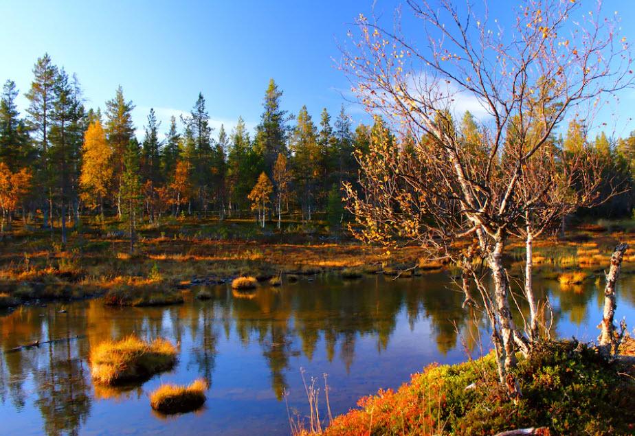 Wer bei einem Wandertrip in Lappland Glück hat, der erspäht ein Rentier, das im Wald auf Pilzsuche ist.