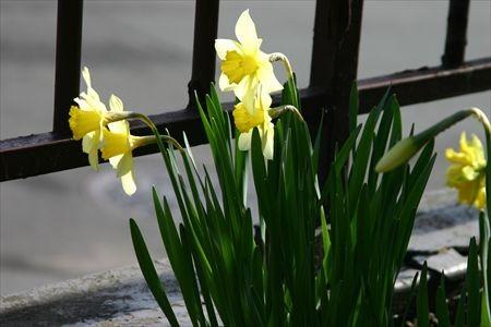 陽にあたる水仙