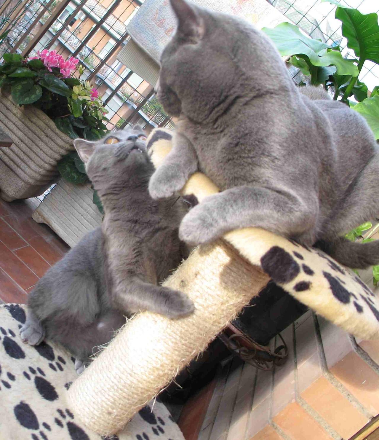 Il Gatto Certosino Allevamento Amatoriale Del Gatto Certosino