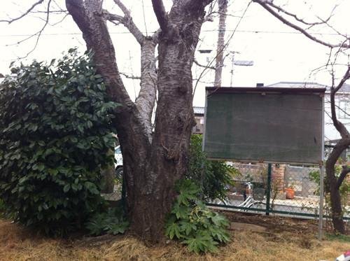 いくの生家にあった桜の木