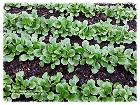 Milde Temperaturen Fur Den Feldsalat Stadtgarten Spath Ihr