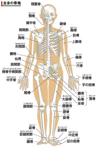 人間の身体の骨格