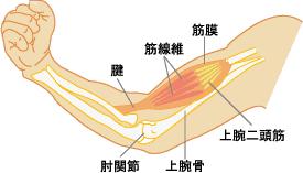 図1 上腕部の筋肉イラスト