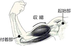 図2 上腕部の筋肉の収縮イラスト