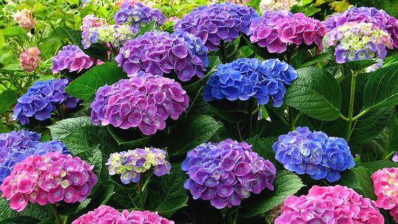6月 梅雨の時期の花 アジサイ
