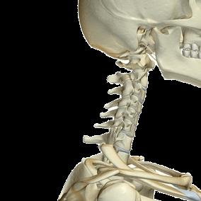 頭蓋骨と頚椎のイラスト