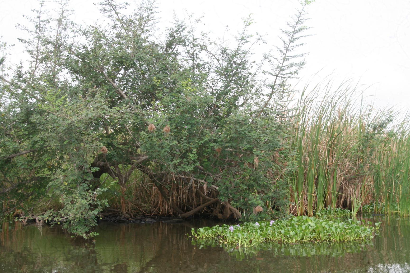 Die Mangroven sind ideale Rückzugsgebiete für Krokodie und Warane. Es gibt aber auch eine Popuation an Seekühen. Dieser Strauch heisst frei Übersetzt Leopardenkralle.