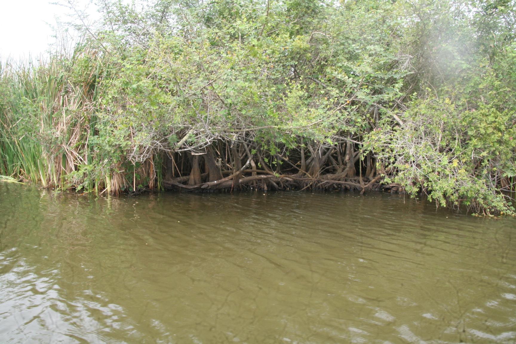 Mangrooven.