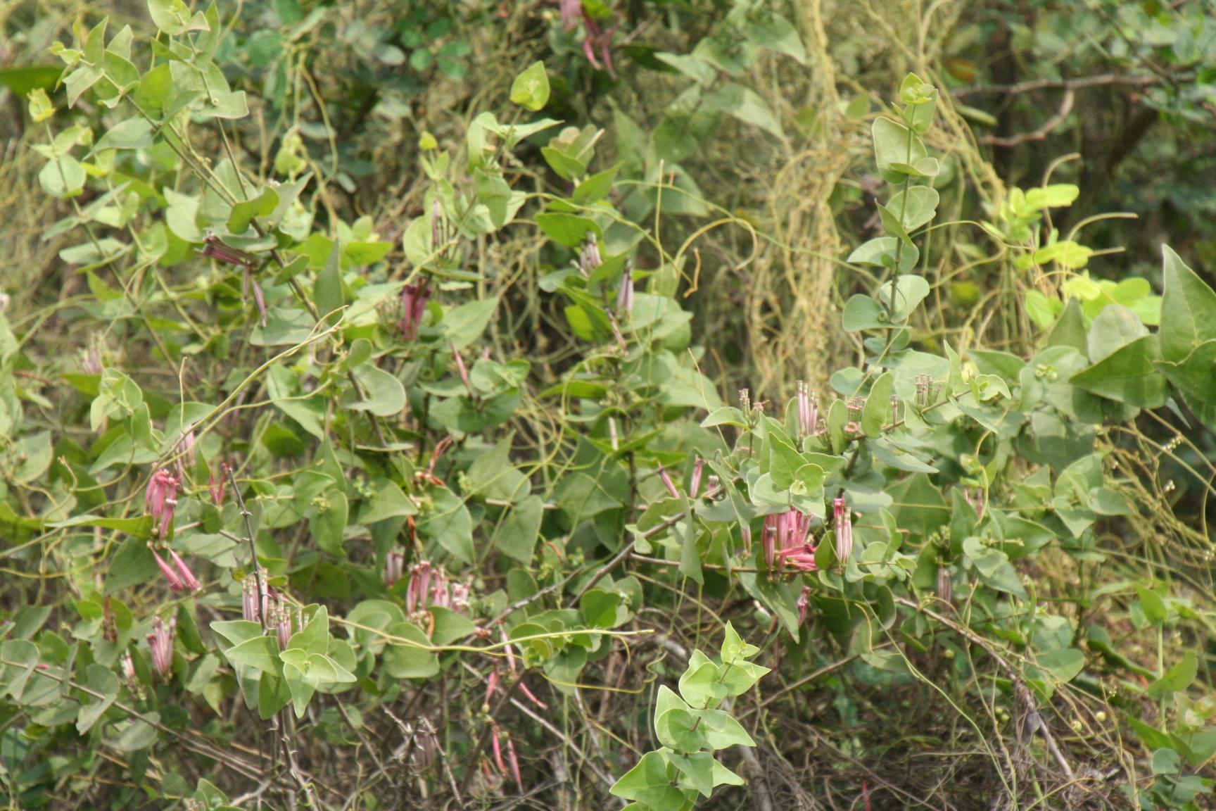 Diese Blüten sind Schmarotzer. Ihre roten Früchte werden von Gebstirnbartvögen gefressen.