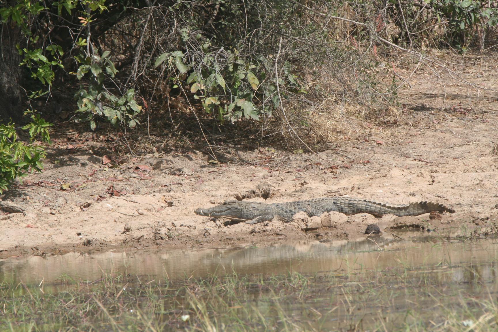 16. Krokodil
