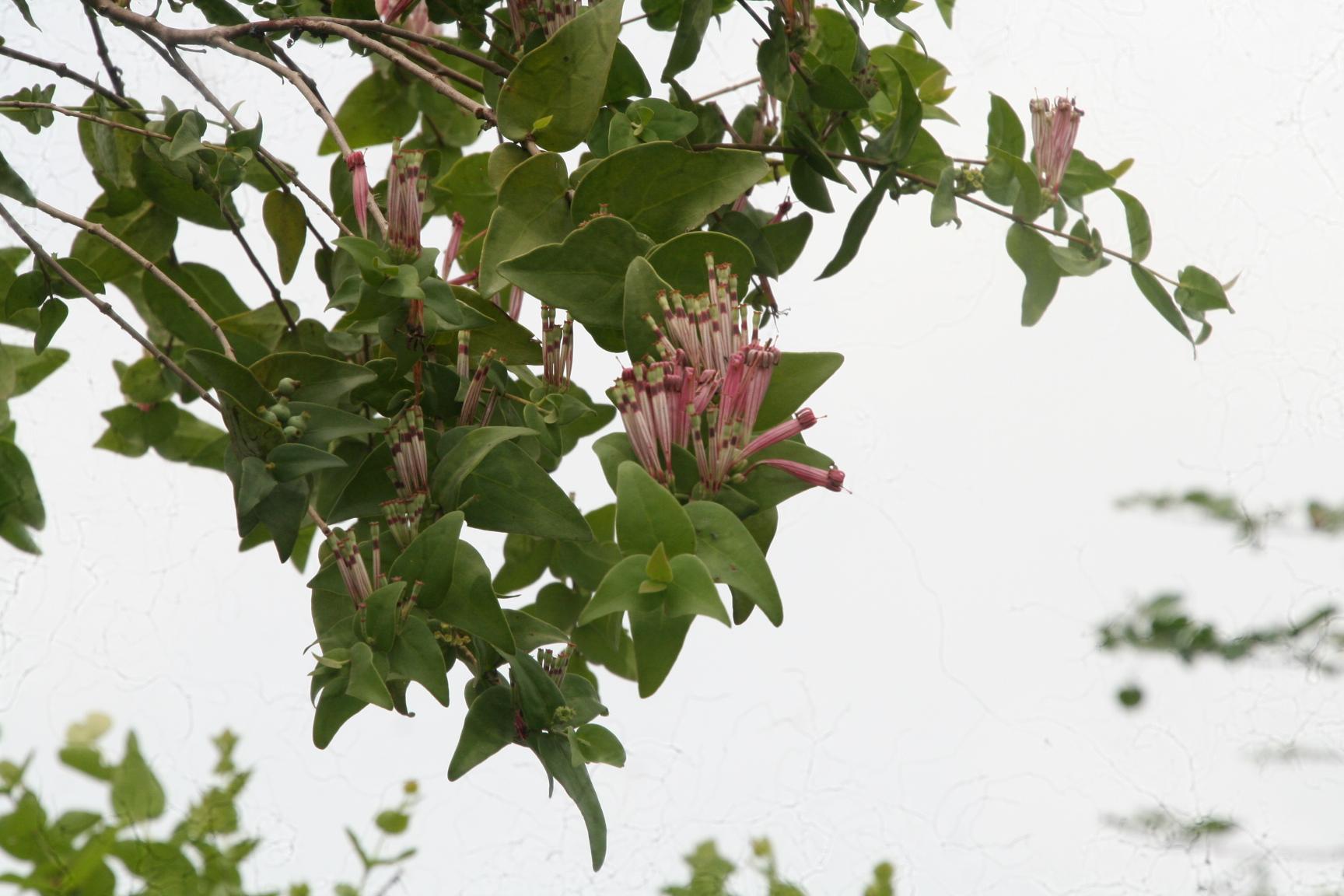 Die Blüten des Schmarotzers.