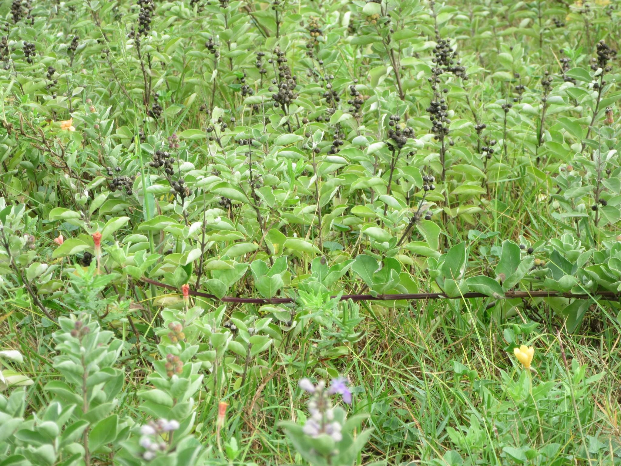 群生しているハマゴウ実と花