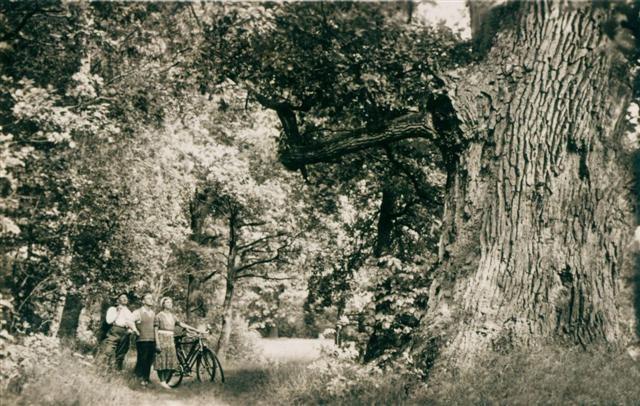 Die Zwillings-Eiche in den 1930er Jahren.