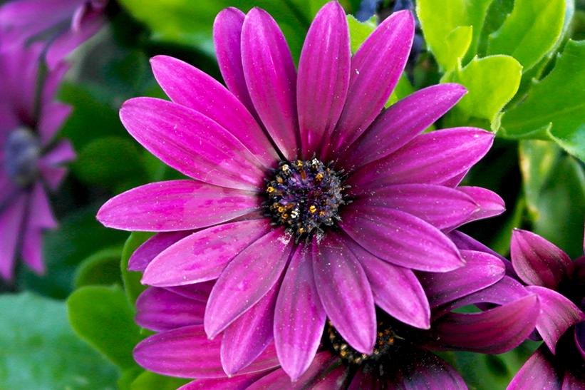 Kapmargerite in lila