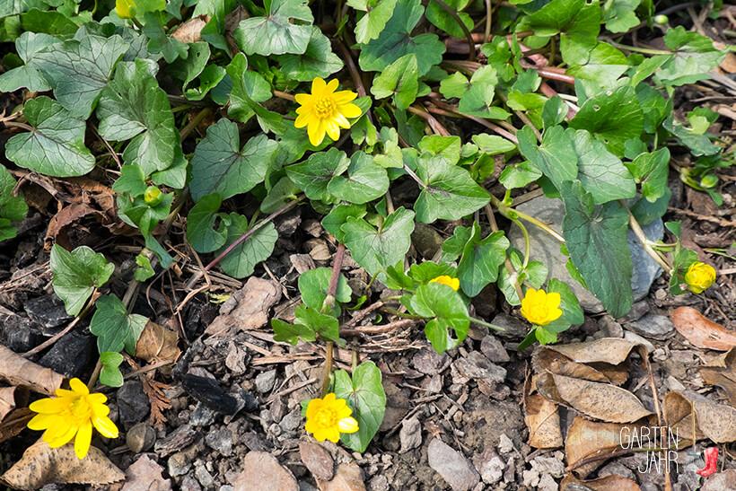 Scharbockskraut, Blüten und Blätter
