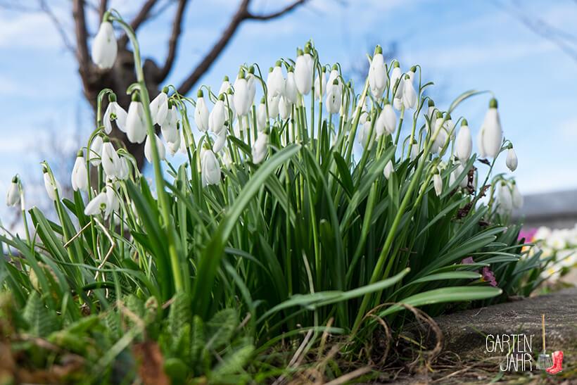 Frühlingserwachen im Garten - Schneeglöckchen