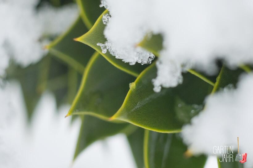 Chiletanne - Araucaria araucana hält dem Schnee ohne Probleme stand