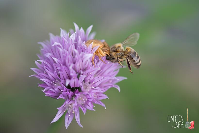 Krabbenspinne fängt Biene auf einer Schnittlauchblüte