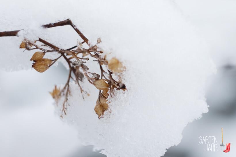Bartblume - Caryopteris clandonensis vom Schnee bedeckt